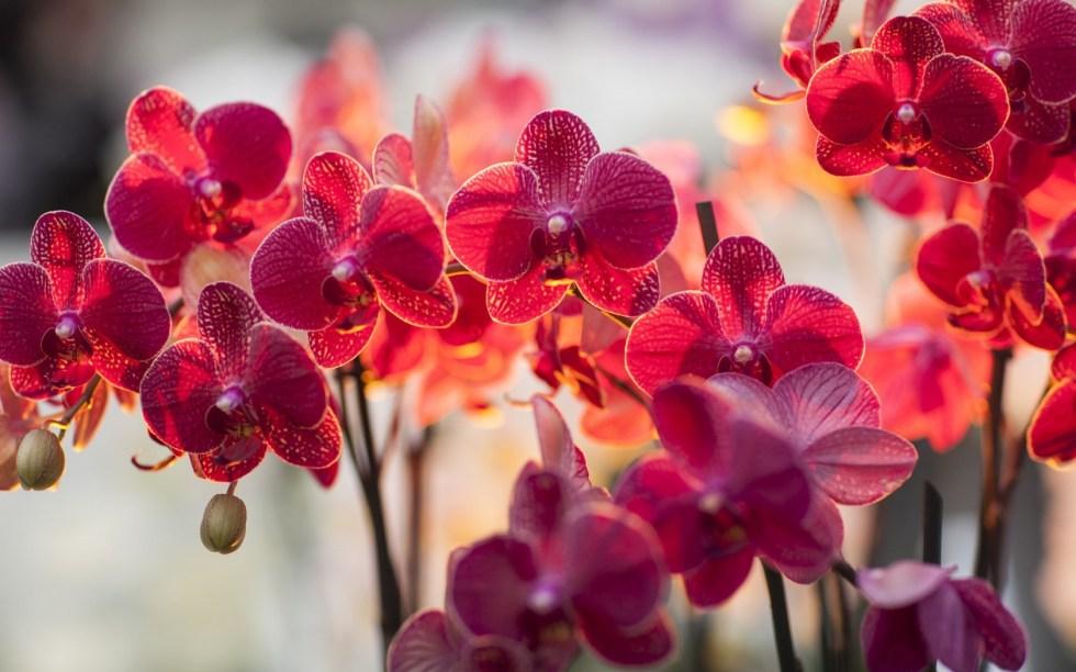 6805371-phalaenopsis
